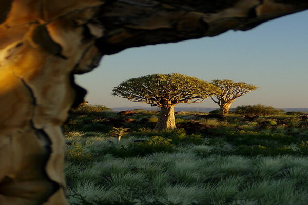 Алоэ дихотомическое, Намибия