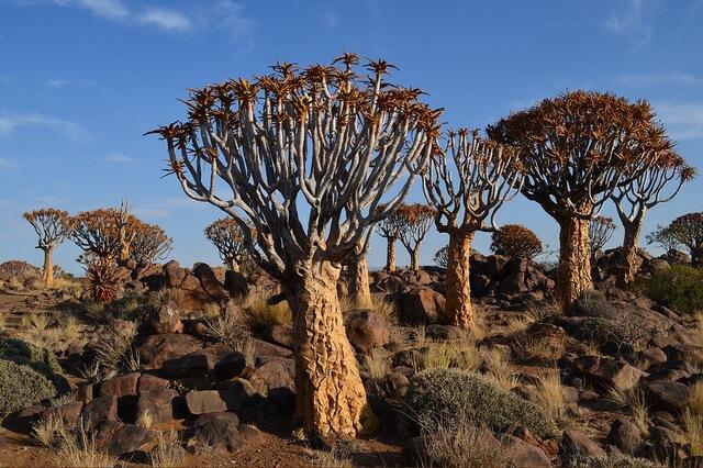 Колчанные деревья Намибии - уникальный лес необычных деревьев