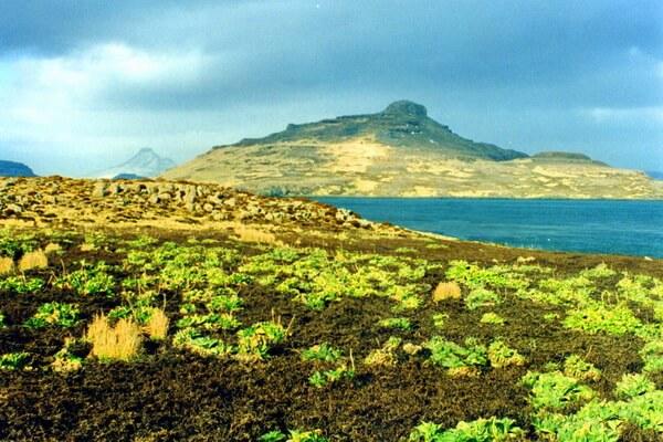 Растительный мир Антарктиды - Кергеленская капуста