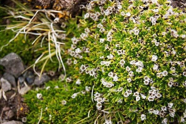 Цветущие растения Антарктиды - Колобантус кито