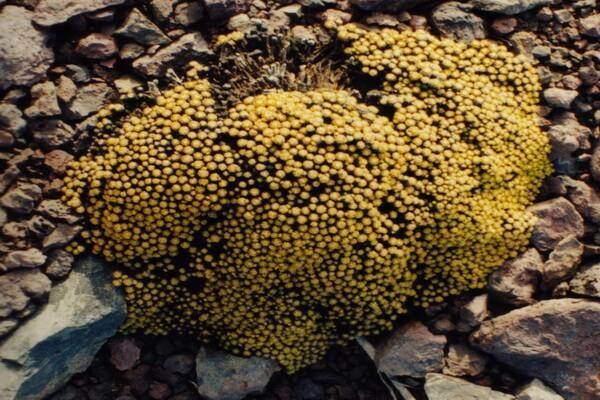 Растения Антарктиды - Лайаллия кергеленская