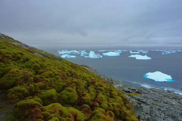 Флора Антарктиды - Виды мхов