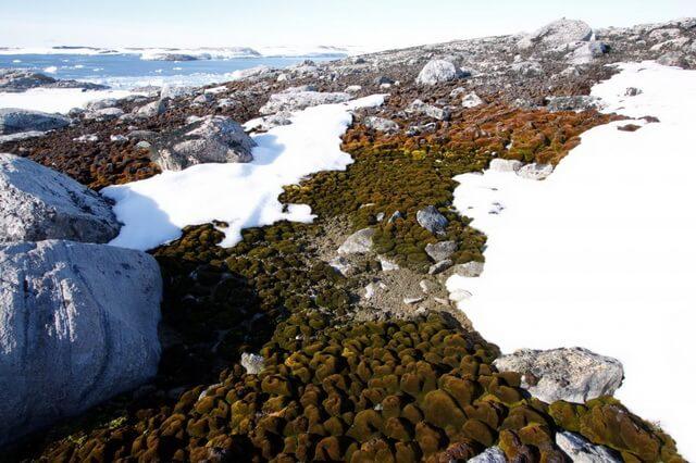 Растения Антарктиды - основные виды с описанием и фото