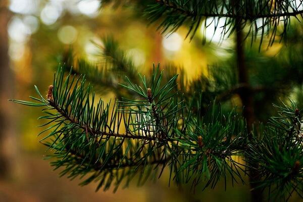 Растения Карелии с фото и описанием - Сосна обыкновенная