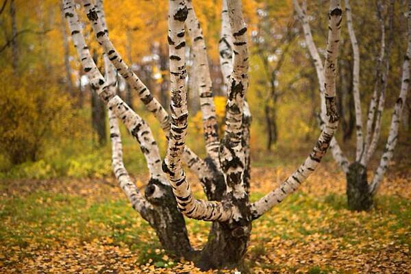 Растения Карелии с фото и описанием - Карельская берёза