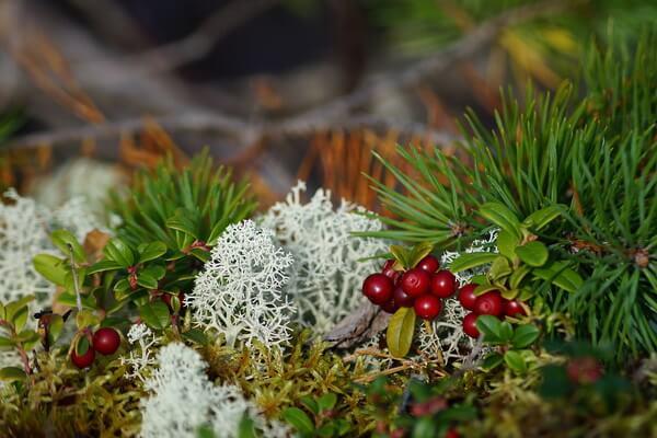 Растения Карелии с фото и описанием - Болотные ягоды (морошка, клюква, брусника)