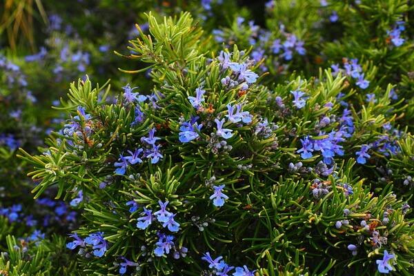 Болотные растения Карелии с фото и описанием - Багульник