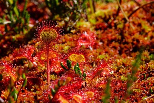 Болотные растения Карелии с фото и описанием - Росянка