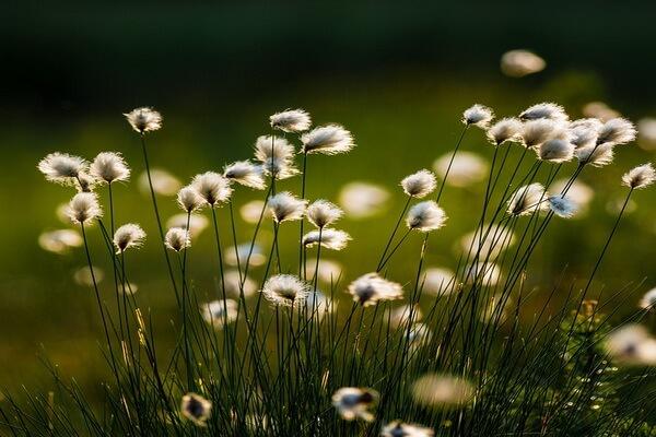 Болотные растения Карелии с фото и описанием - Пушица