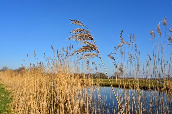 Водные растения Карелии с фото и описанием - Камыш