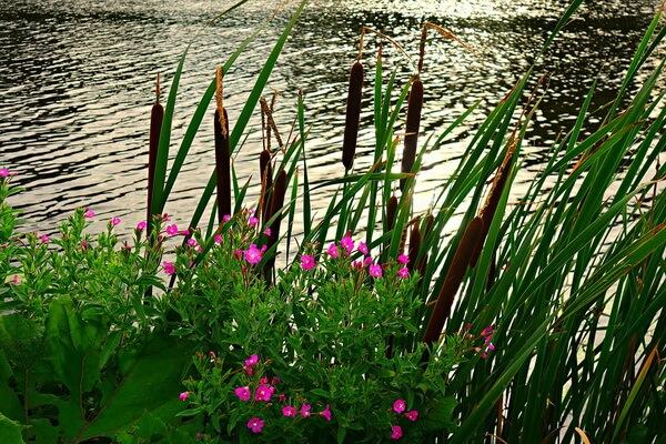 Водные растения Карелии с фото и описанием - Рогоз