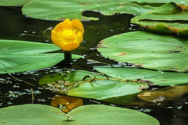 Водные растения Карелии с фото и описанием - Жёлтая кубышка