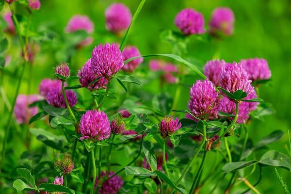 Луговые растения Карелии с фото и описанием - Клевер