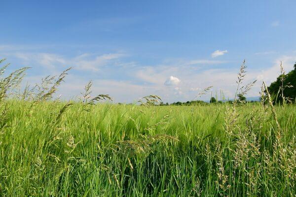 Луговые растения Карелии с фото и описанием - Мятлик