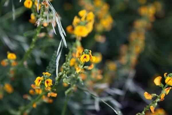 Растения Патагонии с фото и описанием - Парамела (Adesmia boronioides)