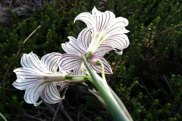Растения Патагонии с фото и описанием - «Полосатая дева» (Olsynium biflorum)