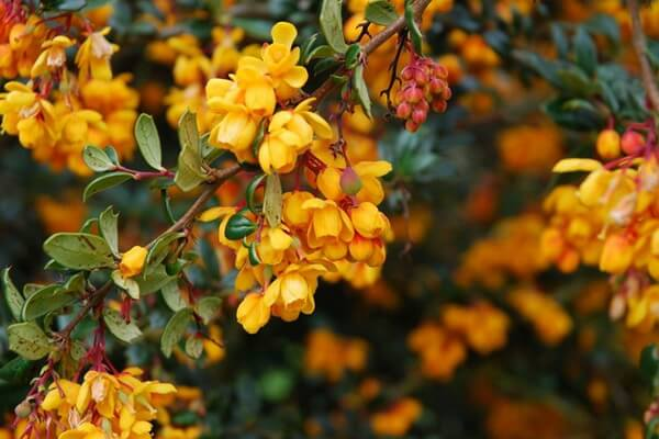 Растения Патагонии с фото и описанием - Калафат (Барбарис самшитолистный)