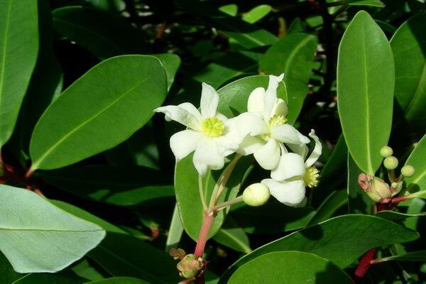 Растения Патагонии с фото и описанием - Канело или Дримис Винтера