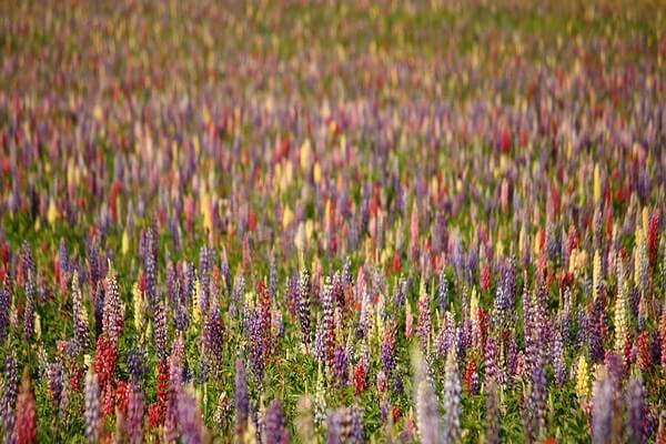 Растения Патагонии с фото и описанием - Люпин многолистный