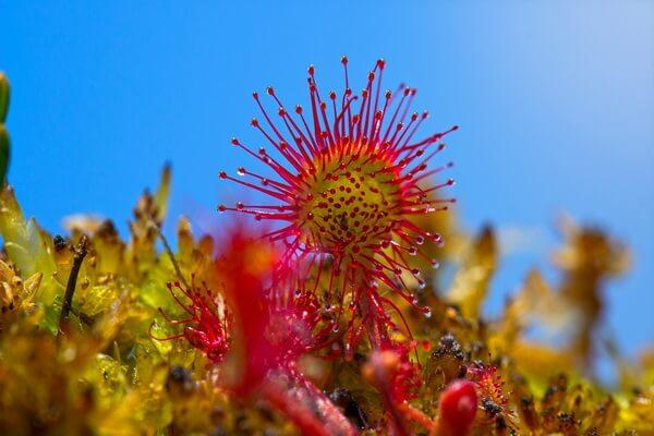 Растения Патагонии с фото и описанием - Росянка