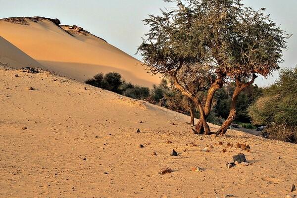 Растения пустыни Сахара с фото и описанием - Оливковое дерево Лаперрина