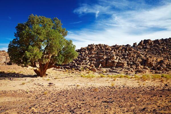 Растения пустыни Сахара с фото и описанием - Кипарис сахарский