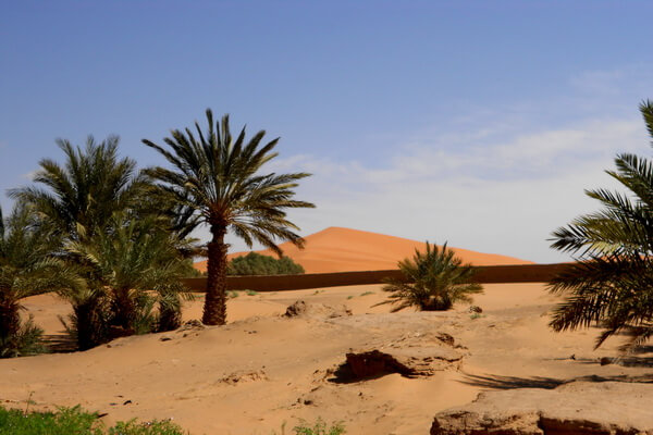 Растения пустыни Сахара с фото и описанием - Финиковая пальма (финик пальчатый)