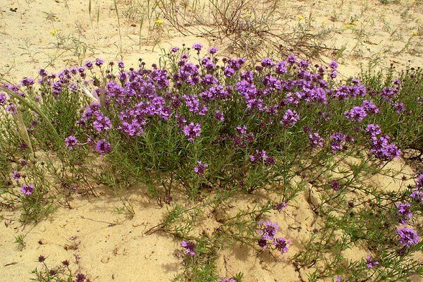Растения пустыни Сахара с фото и описанием - Пустынный тимьян