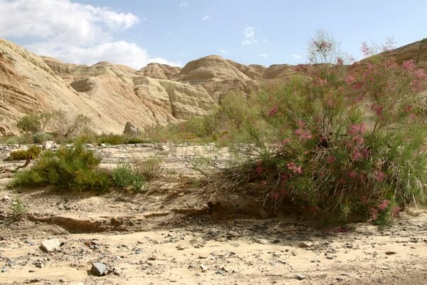 Растения пустыни Сахара с фото и описанием - Гребенщик или тамариск