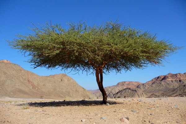 Растения пустыни Сахара с фото и описанием - Акация