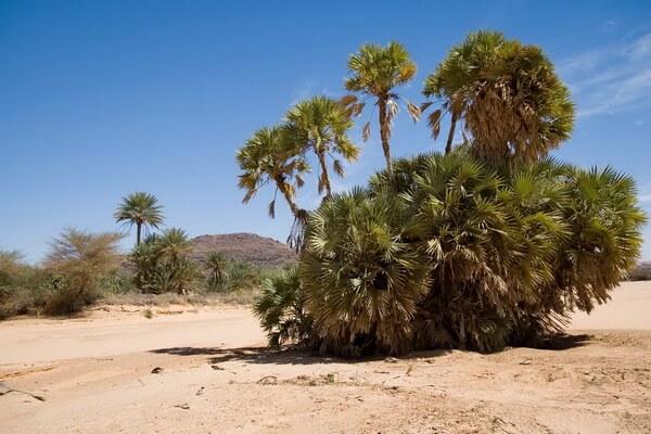 Растения пустыни Сахара с фото и описанием - Пальма гифена