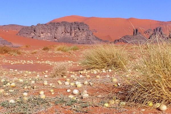 Растения пустыни Сахара с фото и описанием - Колоцинт или колоквинт (пустынная тыква)