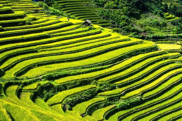 Рисовые поля Вьетнама - история возникновения