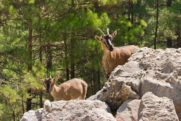 Фауна Греции - Критские горные козлы (кри-кри) в Самарийском ущелье