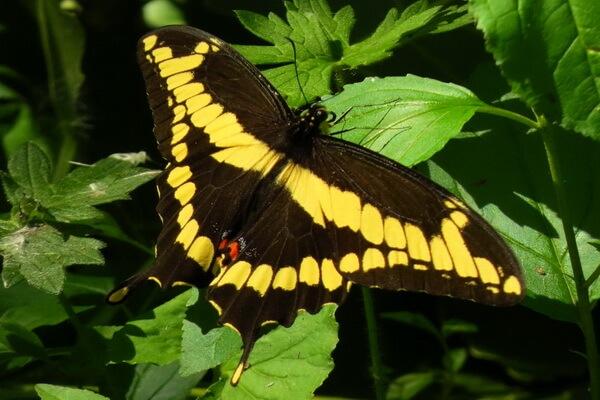 Самые большие бабочки в мире с фото, названием и описанием - Парусник Гомера