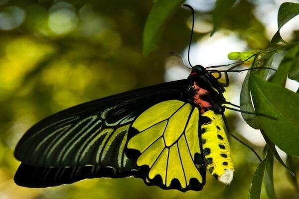 Самые большие бабочки в мире с фото, названием и описанием - Орнитоптера голиаф