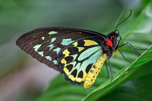 Самые большие бабочки в мире с фото, названием и описанием - Орнитоптера Александры или птицекрылка королевы Александры