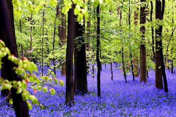 Самые красивые леса в мире с фото и описанием - Халлербос в Бельгии