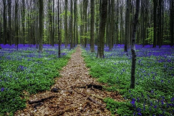 Самые необычные леса мира - Халлербос в Бельгии