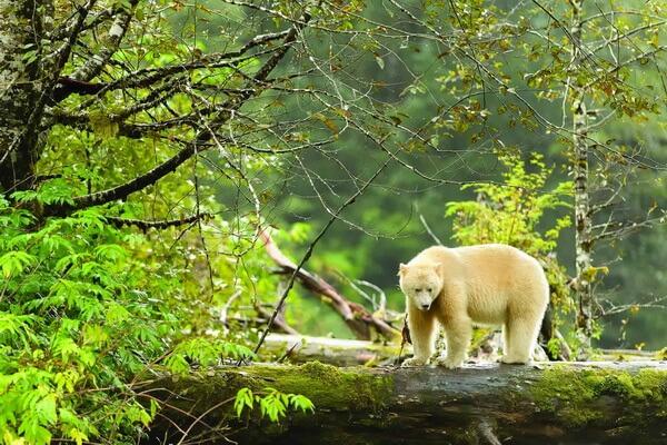 Самые красивые леса в мире с фото и описанием - Тропический лес Большой Медведицы в Канаде