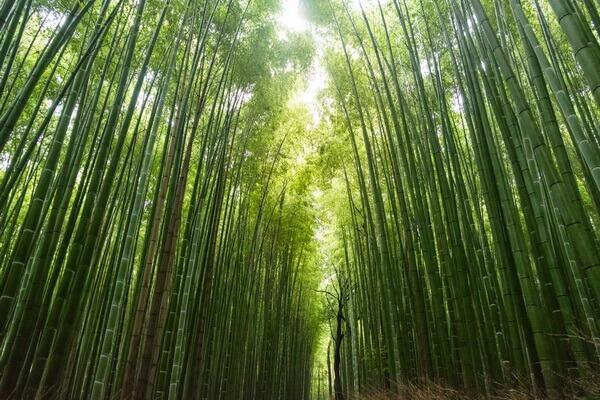 Самые красивые леса в мире с фото и описанием - Бамбуковый лес Сагано в Японии