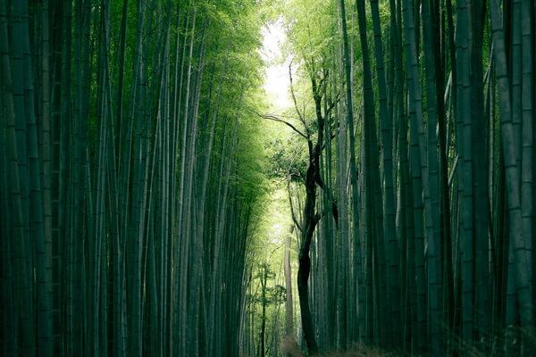 Самые необычные леса в мире с фото и описанием - Бамбуковый лес Сагано в Японии