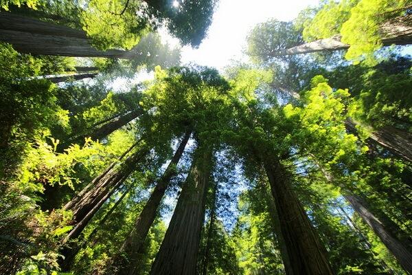 Самые красивые леса в мире с фото и описанием - Лес Редвуд в США