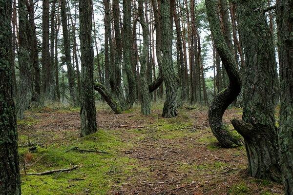 Самые красивые леса в мире с фото и описанием - Кривой лес в Польше