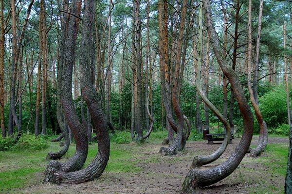 Самые необычные леса в мире с фото и описанием - Кривой лес в Польше