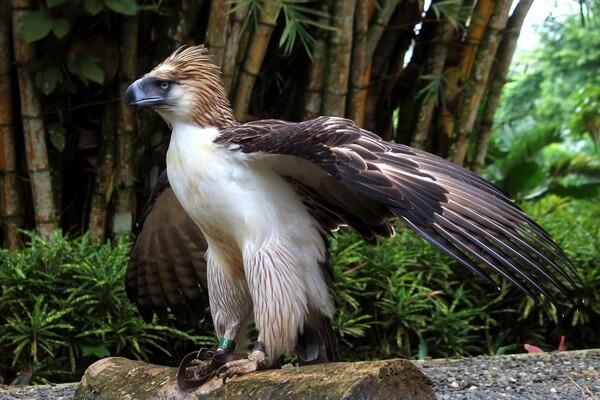Крупнейшие орлы мира с фото и описанием - Филиппинский орёл/обезьяноед