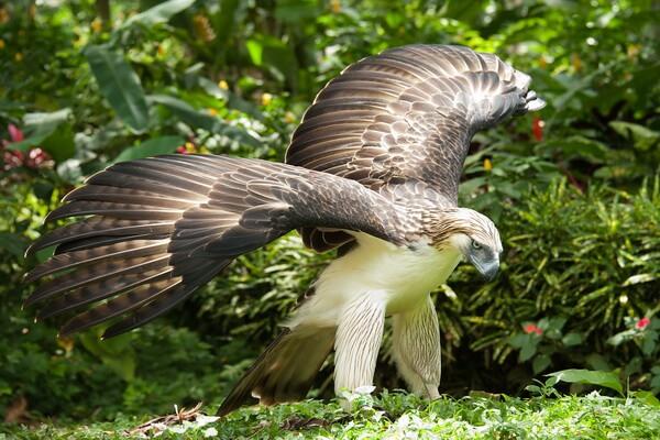 Самые крупные орлы в мире с фото и описанием - Филиппинский орёл/обезьяноед