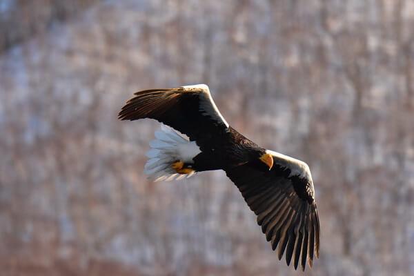 Крупнейшие орлы мира с фото и описанием - Белоплечий орлан