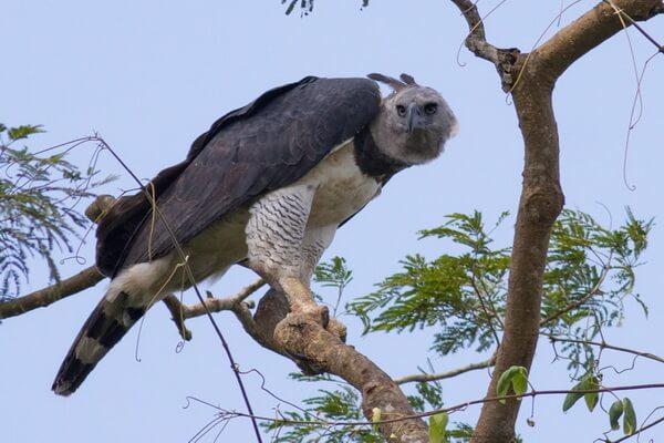 Южноамериканская гарпия - крупнейший орёл в мире