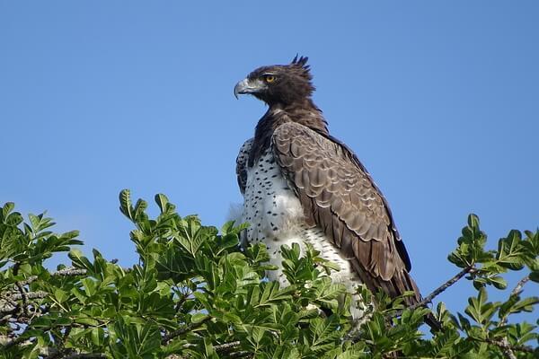 Самые крупные орлы в мире с фото и описанием - Боевой орёл